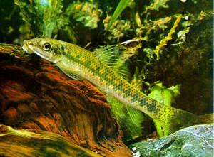 Gyrinocheilus
