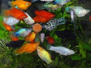 kormlenie-rybok