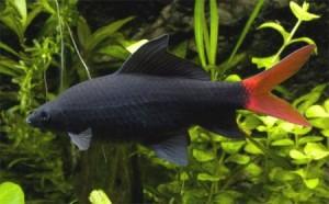 labeo-bicolor1
