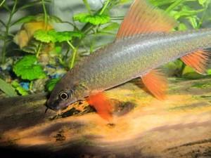 labeo-frenatus1