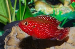 018Hemichromis Lifalili