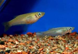 Alfaro-cultratus-pair