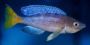 cyprichromis_leptosoma_male_1