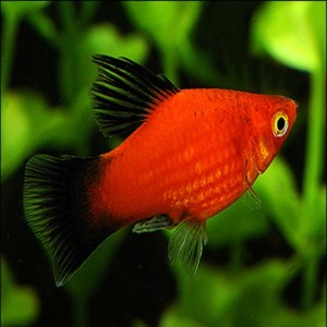 red_wag_platy_-_xiphophorus_maculatus