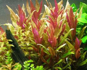 Alternanthera-reineckii-Pink-Roseafolia-where-to-buy-and-information-aquascape-aquarium-planted-tank-redcherryshrimp-5