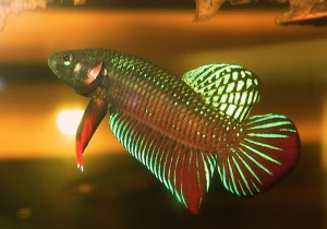 Betta-splendens-wild-form