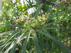 Cyperus_alternifolius02