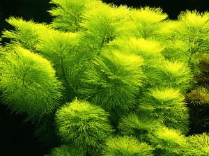 Limnophila_aquatica