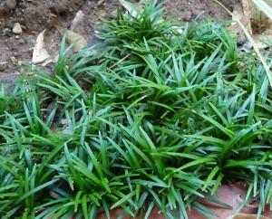 Mondo Grass - Ophiopogon Japonicus 'Kyoto Dwarf' 1