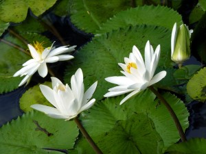 Nymphaea_pubescens_(9149720913)