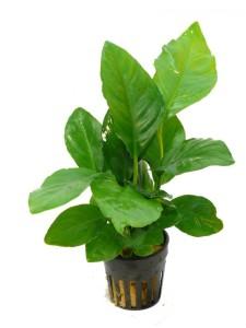 anubias-heterophylla-800_z1