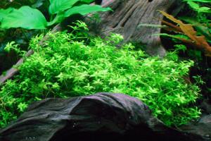 hemianthus_micranthemoides1