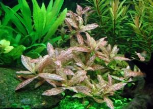 hygrophila-polysperma-sunset-rosanervig-4f7a01cc87c4b
