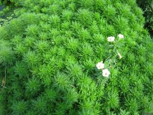 limnophila-sessiliflora-513edfb0d2d4e