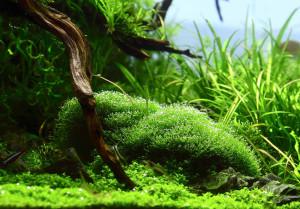 riccia-fluitans-aquarium-moos