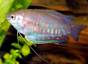 trichogaster-labiosus
