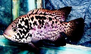 Cichlid-tetracanthus-Cuban