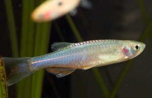 Danio-albolineatus-Singapore-Aquariumhandel