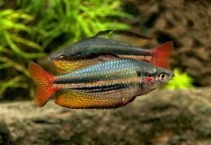 M.australis.Fish River.Daly.GES