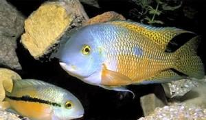 cichlasoma-nicaraguense-couple-hypsophrys-nicaraguensis