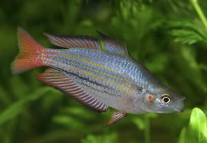 melanotaenia-splendida-australis-hristo-hristov