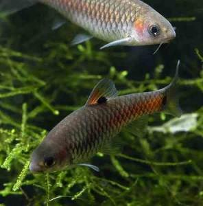 Capoeta_bimaculatus